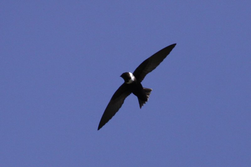 White-collared Swift (Streptoprocne zonaris) - halsbandseglare