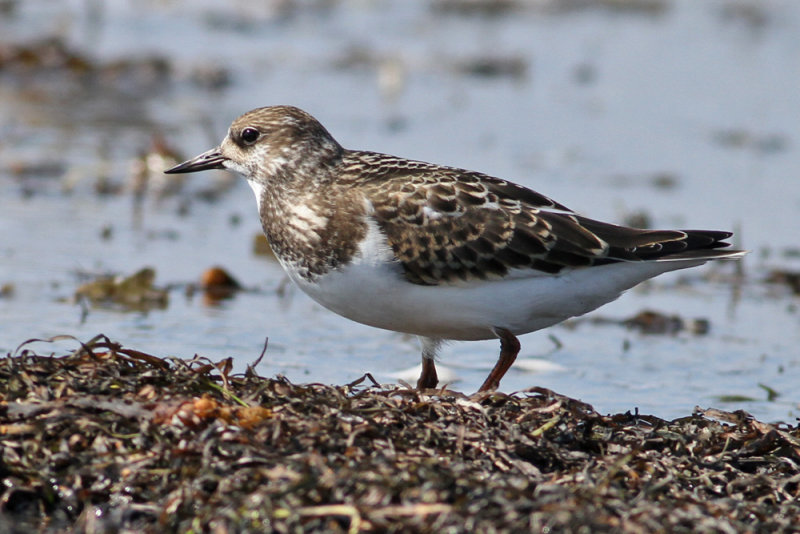 Ruddy Turnstone (Arenaria interpres) - roskarl