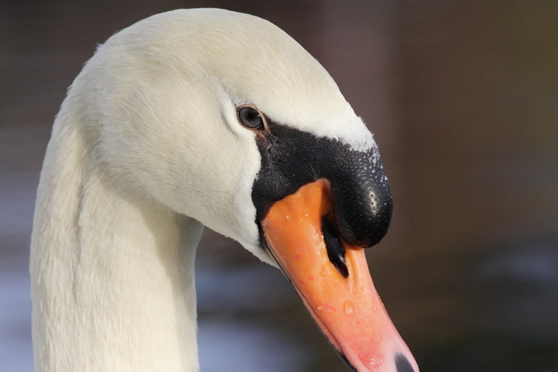 Mute Swan from Kayak