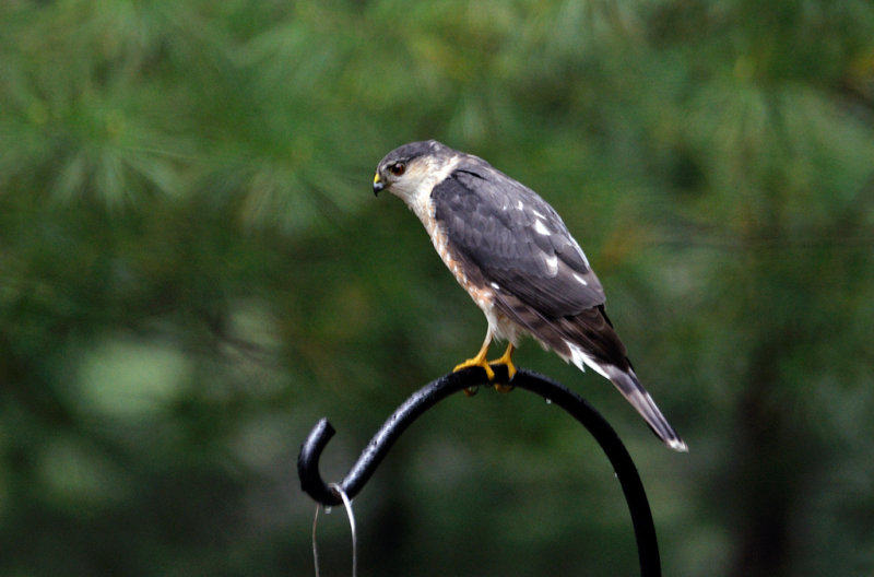 Faucon émerillon (mâle) - Merlin (male)