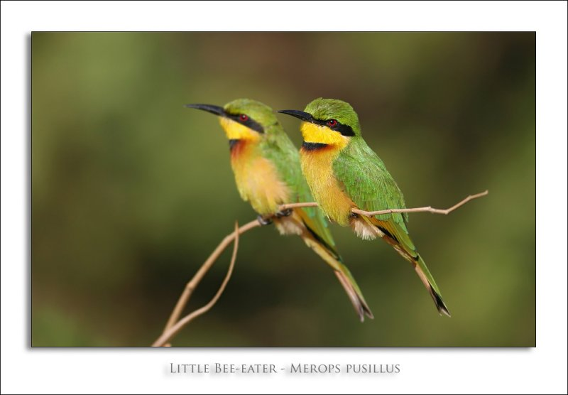 Little Bee-eater - Merops pusillus