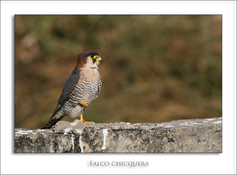 Red-necked Falcon (Falco chicquera) ssp. ruficollis