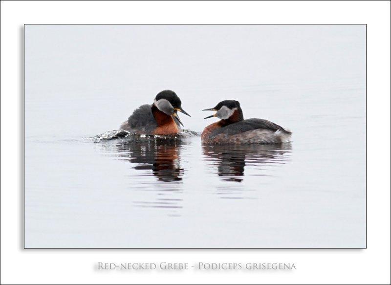 Red-necked Grebe - Podiceps grisegena