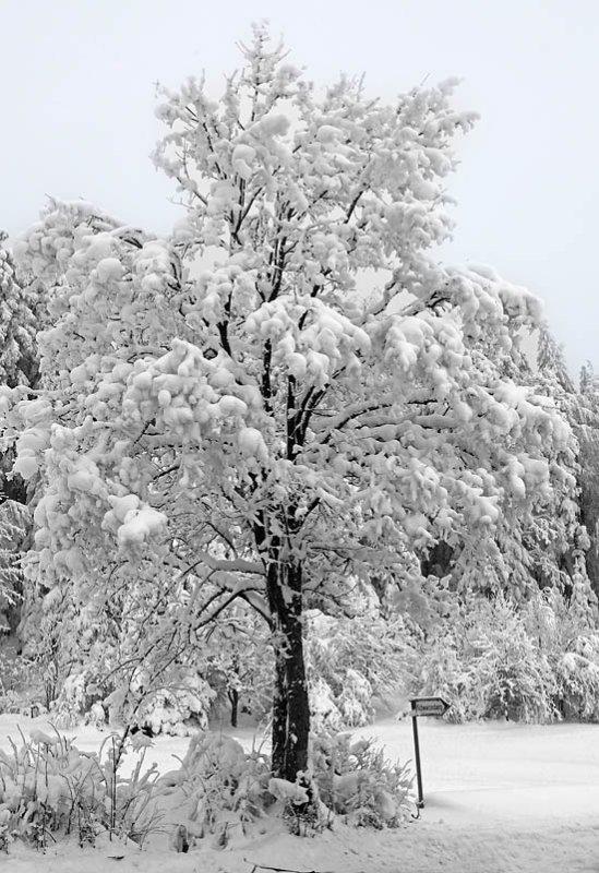 Tree in a beautiful winter dress