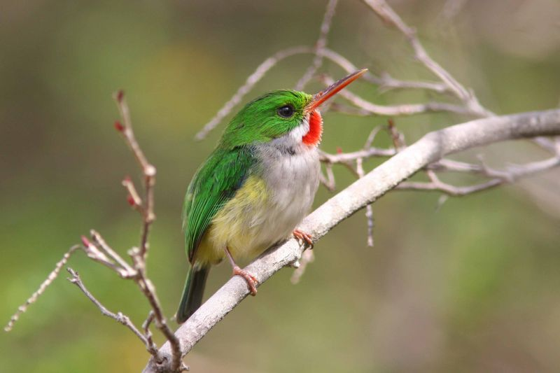 Puerto Rican Tody Flycatcher, Guanica State Forest
