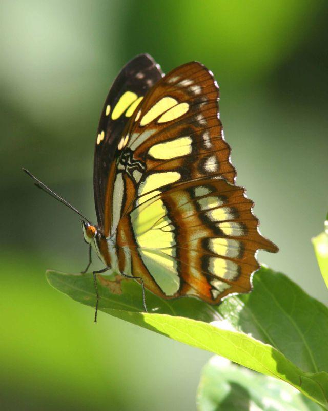 Malachite Butterfly, Maricao, Puerto Rico