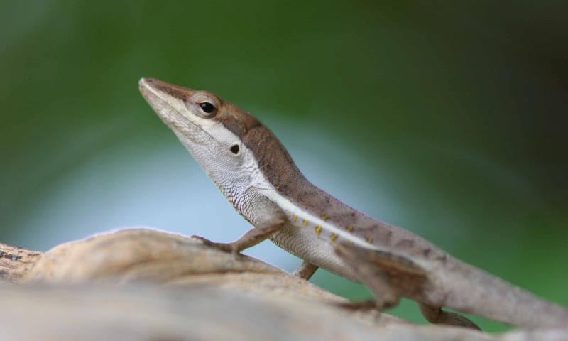 Lizard, Puerto Rico, Guanica State Forest