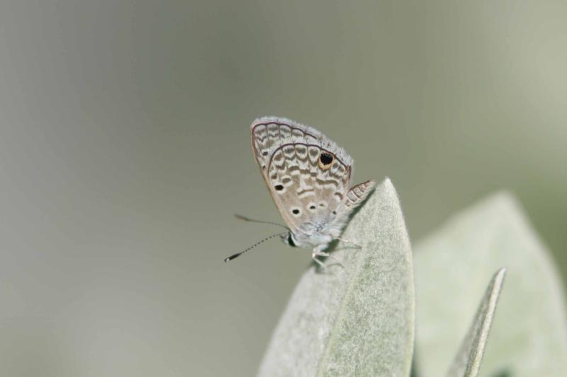 Hanno Blue Butterfly, Guanica, Puerto Rico