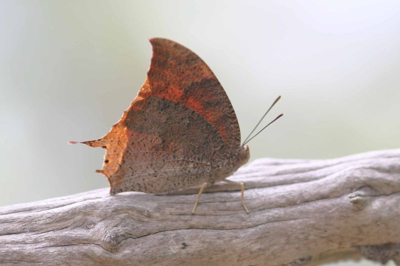 Leafwing Butterfly, Guanica State Forest, Puerto Rico
