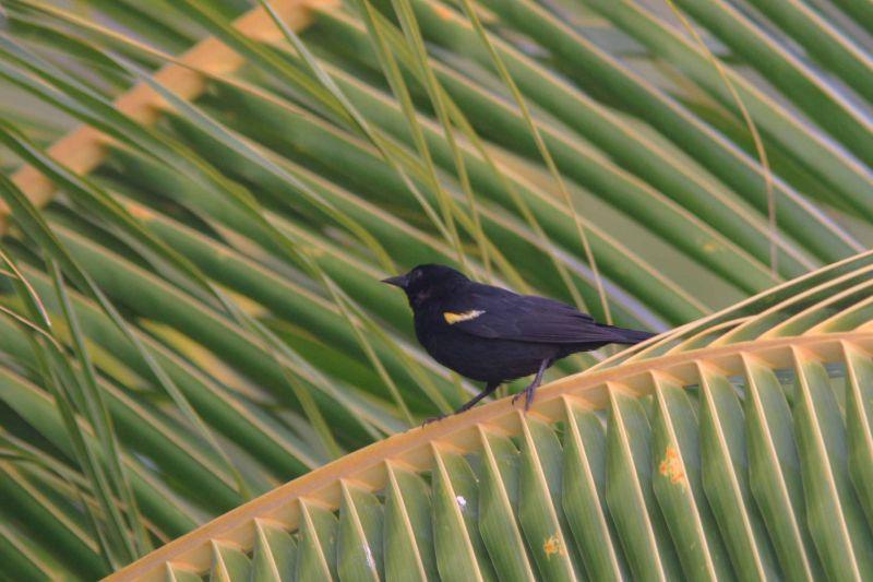 Yellow-Shouldered Blackbird, La Parguera