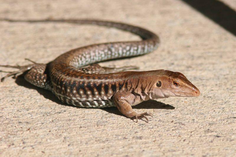 Lizard, Guanica
