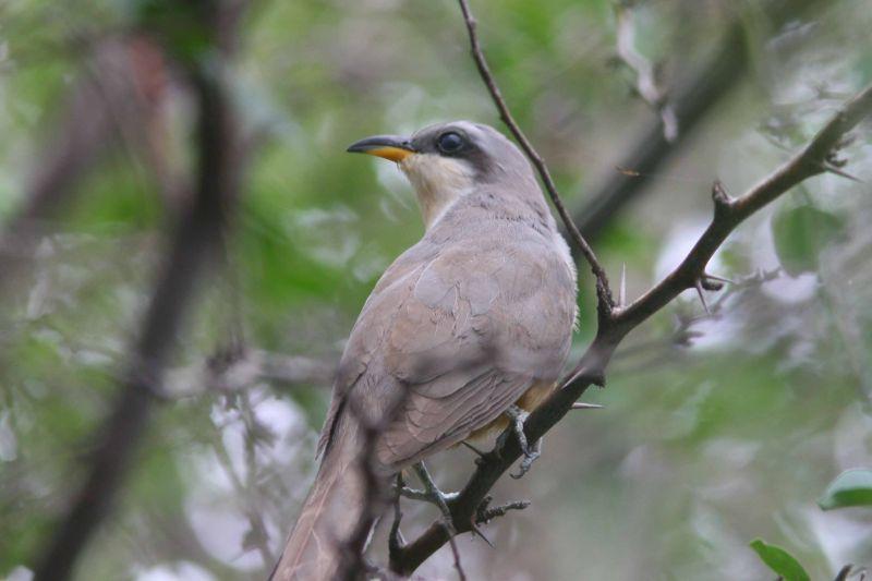 Mangrove Cuckoo, Guanica State Forest