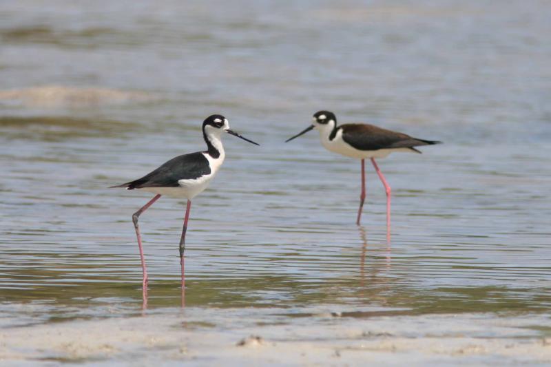 Black-necked Stilts, Guanica