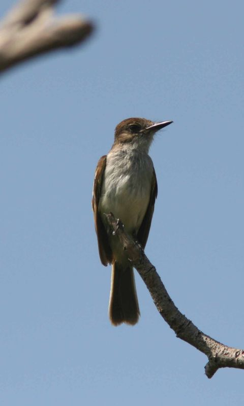 Puerto Rican Flycatcher, Guanica State Forest