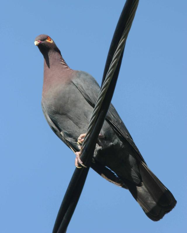 Scaly-naped Pigeon, Maricao