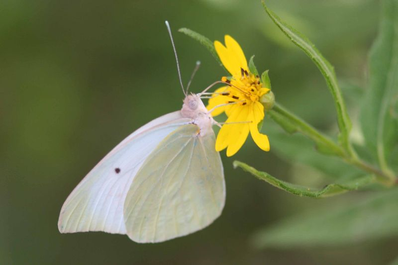 Butterfly, Sulphur, Guanica State Forest, Puerto Rico
