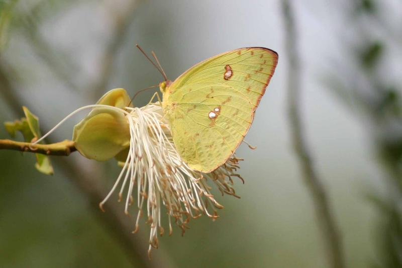 Cloudless Sulphur, Guanica State Forest