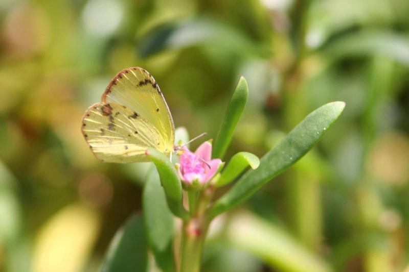 Little Sulphur Butterfly, Guanica State Forest, Puerto Rico