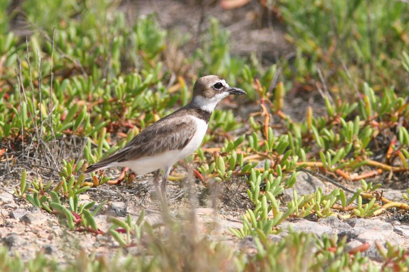 Wilsons Plover, Guanica State Forest