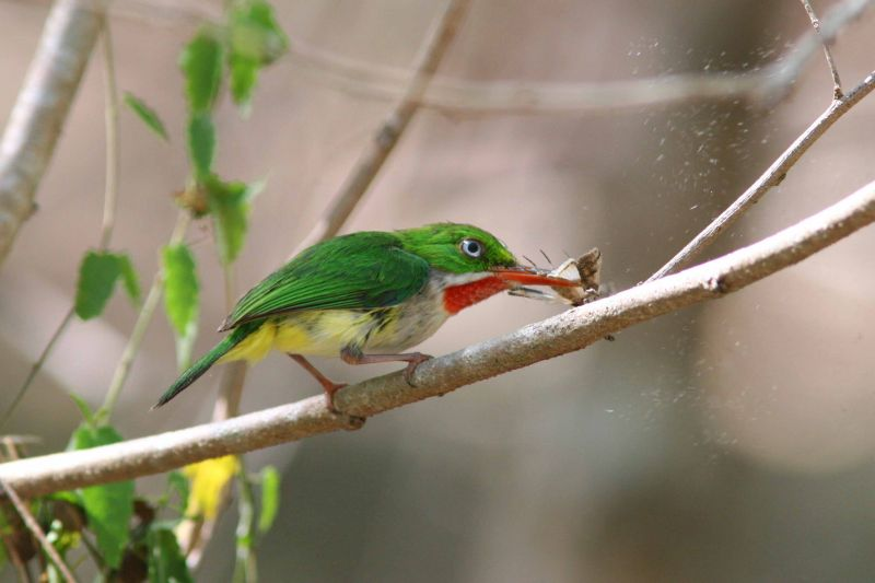Puerto Rican Tody Flycatcher eating butterfly, Guanica State Forest