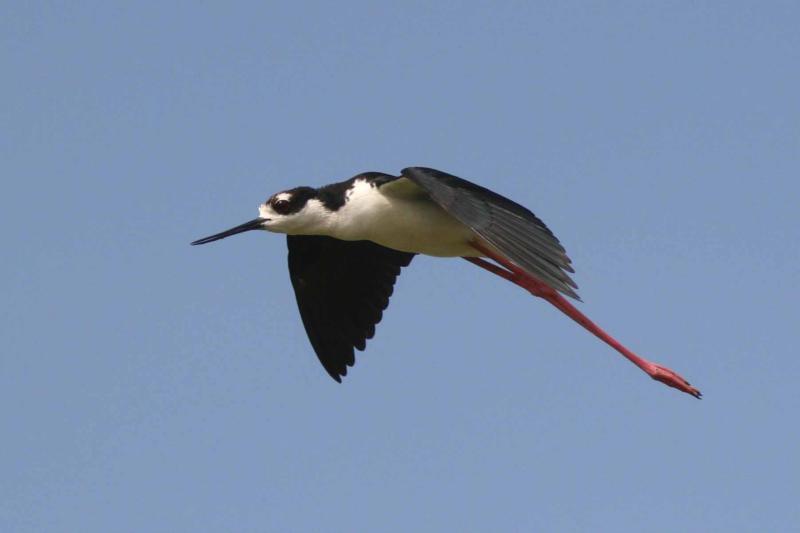 Black-necked Stilt in Flight, Guanica State Forest