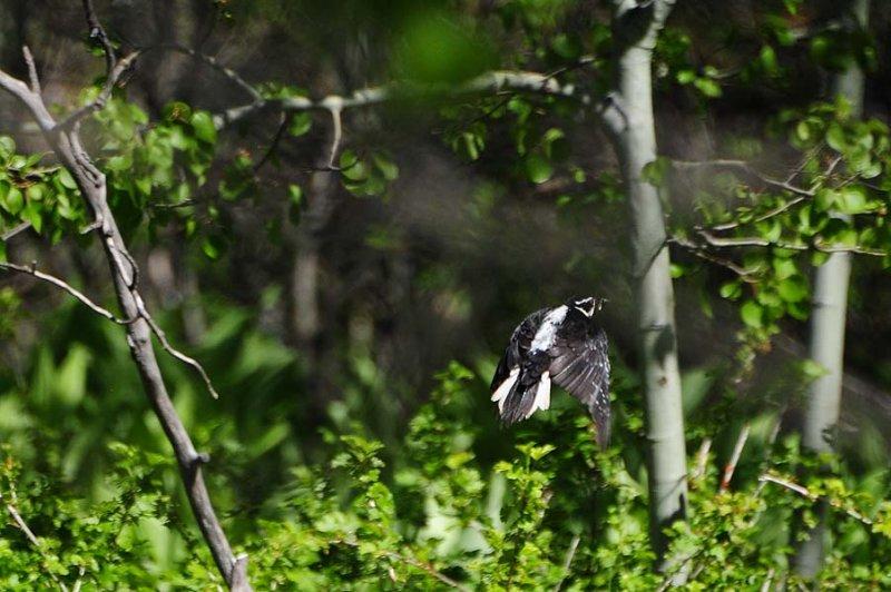 Female Woodpecker in Flight