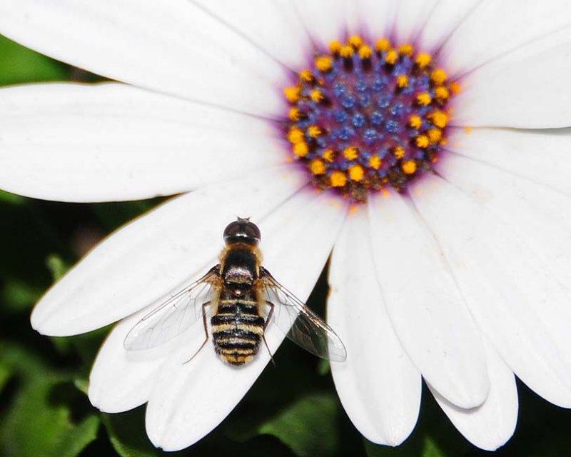 Progressive Bee Fly Up Close
