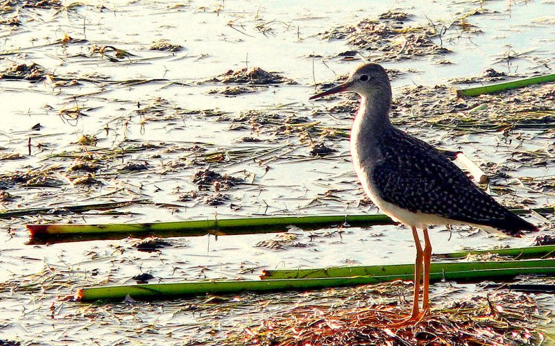LESSER YELLOWLEGS 2.JPG