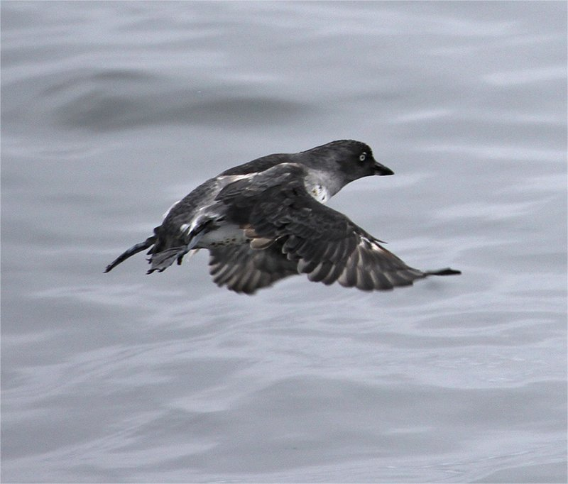 Cassins Auklet in flight