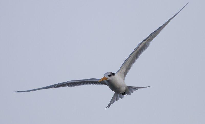 Lesser Crested Tern (Iltärna) Sterna bengalensis -  IMG_5525.jpg