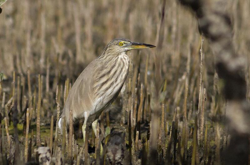 Indian Pond-Heron (Rishäger) Ardeola grayii - IMG_4915.jpg