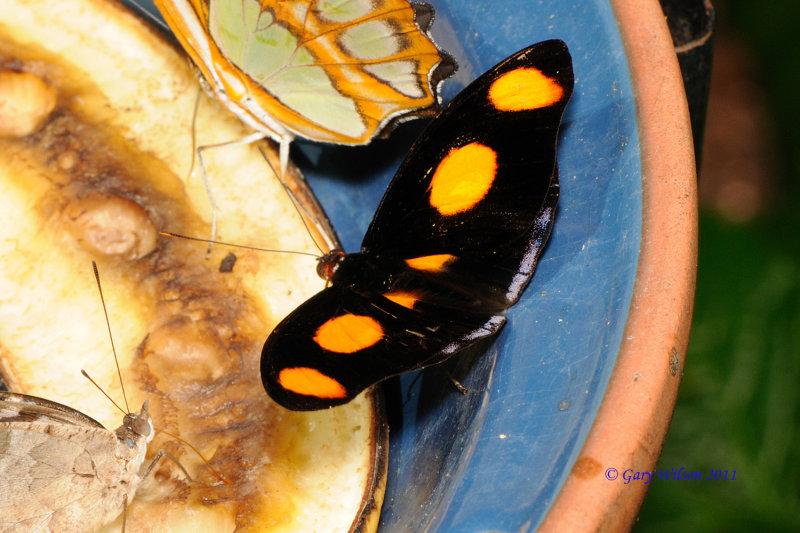 Grecian Shoemaker / Butterfly House, Missouri
