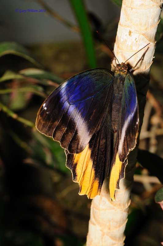 Yellow-Edged Giant-Owl / Butterfly House, Missouri