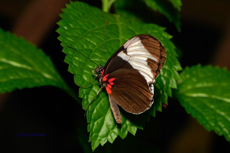 Sapho Longwing /Butterfly House, Missouri
