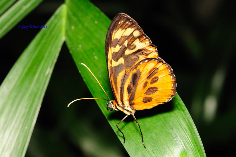 Hormonia Tigerwing/Butterfly House, Missouri