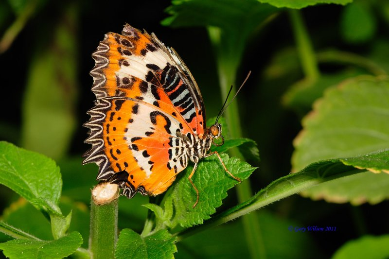 Leopard Lacewing/Butterfly House, Missouri
