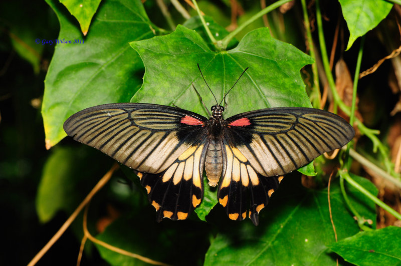 Great Yellow Mormon/Butterfly House, Missouri