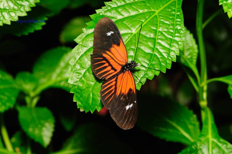 Common Longwing/Butterfly House, Missouri
