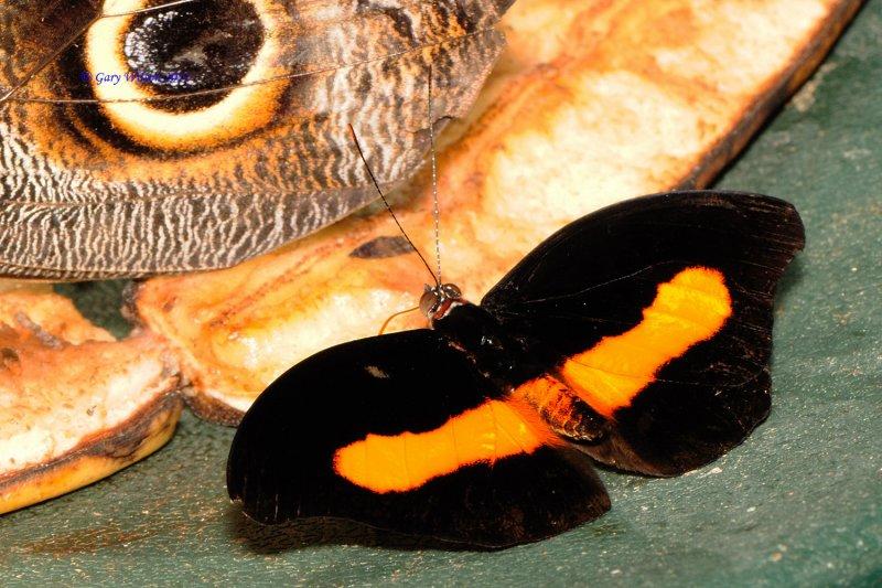Surinamese Shoemaker/Butterfly House, Missouri