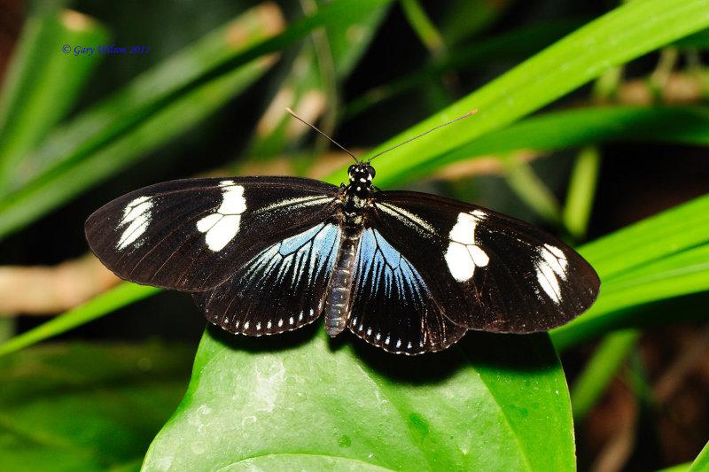 Doris Longwing(Blue Variety) @ Butterfly House, Missouri