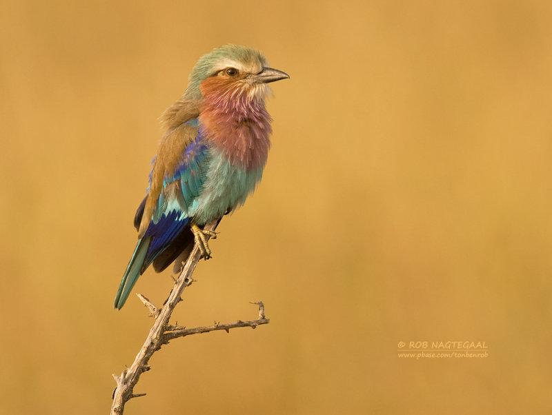 Vorkstaartscharrelaar - Lilac-breasted Roller - Coracias caudatus