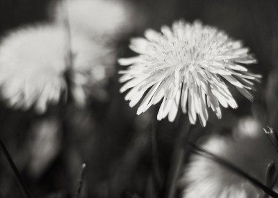 Group of Dandelions #1