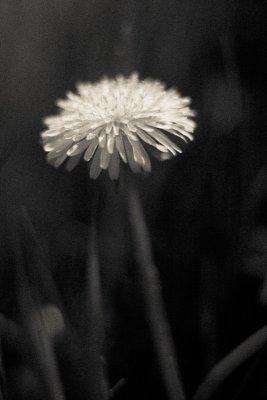 Soft Single Dandelion