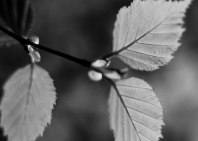New Leaves Monochrome