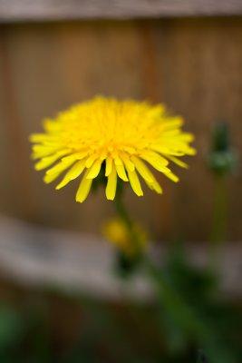 Dandelion by Bucket
