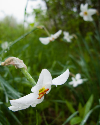 Jonquil Heavy with Rain
