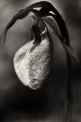 Ladys Slipper Orchid #2
