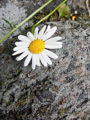 Daisy Resting on Rock