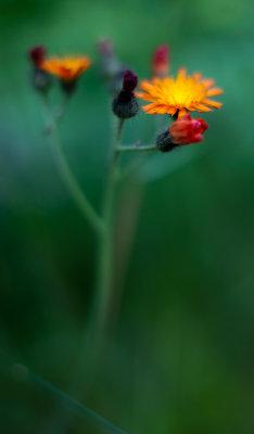 Tall, Thin Orange Hawkweed