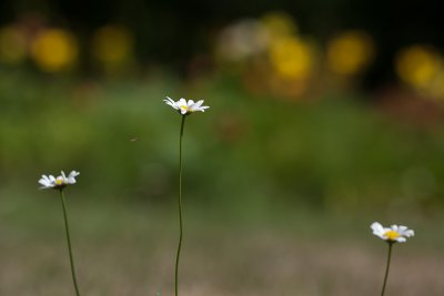 Three Daisies Near Lily Garden